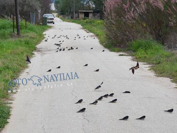 Φρίκη στην Αργολίδα: Γέμισε ο δρόμος νεκρά χελιδόνια - Τι συνέβη;