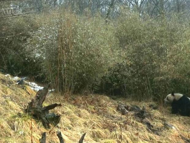 Ο φακός κατέγραψε για πρώτη φορά γιγαντιαία panda να ζευγαρώνουν (video)